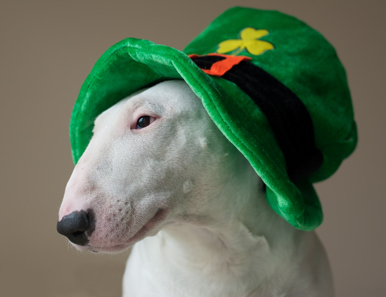 Bull terrier christmas hat