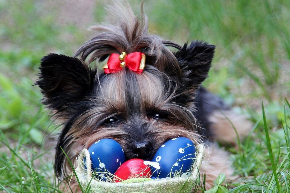 Can Yorkshire Terriers Eat Eggs?