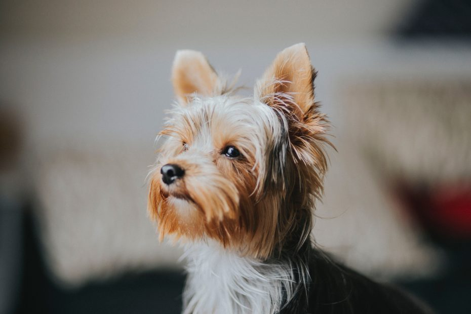 When do Yorkshire Terrier stop growing?