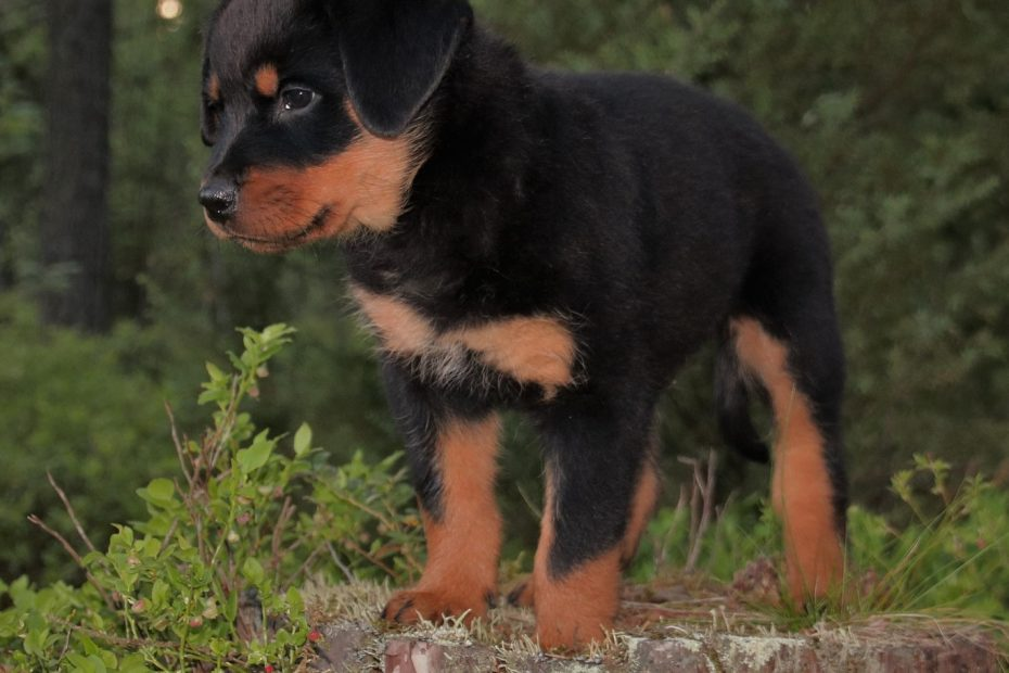 Why do they cut Rottweilers tails?
